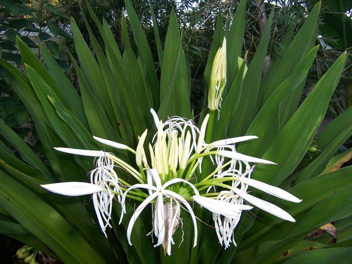Hình ảnh cây lá náng hoa trắng