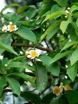 hình ảnh hoa vối