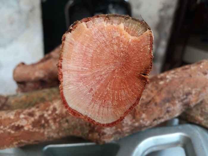 Tầm gửi nghiến là củ mọc trên thân cây nghiến