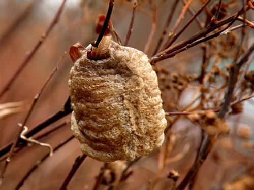 Tang phiêu tiêu chỉ có vào mùa sinh sản của bọ ngựa