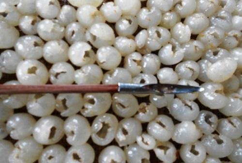 Cây đũa khi lấy hạt của nhãn ra