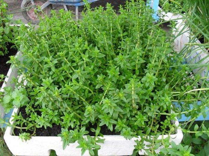 Rau ngổ thơm được trồng làm rau ăn