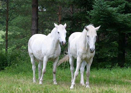 Đặc điểm cao ngựa bạch và thành phần dược chất của cao ngựa bạch