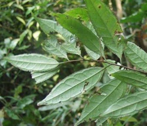 Tác dụng của cây chè dung và cách dùng cây chè dung như thế nào