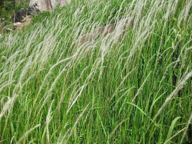 Cây cỏ tranh thường mọc thành bụi lớn