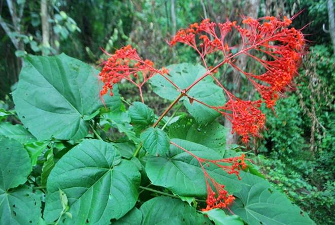 Đặc điểm cây mò đỏ là gì và tác dụng của cây mò đỏ chữa bệnh gì