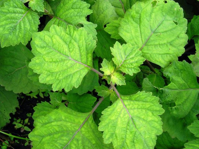 Hình ảnh lá cây hoắc hương