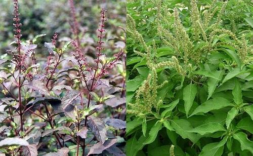 Cây hương nhu là gì và cách dùng cây hương nhu chữa bệnh ra sao