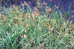 Hình ảnh cây cỏ gấu