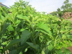 Cây lá đắng dùng để chữa bệnh cực hiệu quả