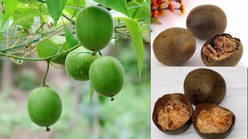 Tác dụng cây la hán cùng hình ảnh và cách dùng cây la hán hiệu quả