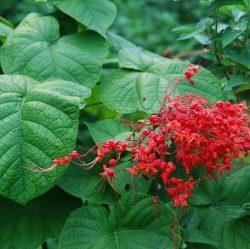 Cây mò hoa đỏ chữa bệnh phụ nữ rất hiệu quả