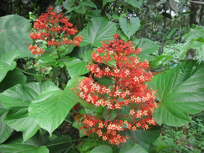 Công dụng chữa bệnh của cây mò hoa đỏ