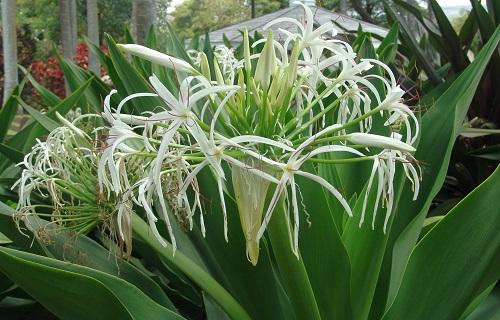 Cây nang hoa trắng có tác dụng chữa bệnh phì đại tiền liệt tuyến