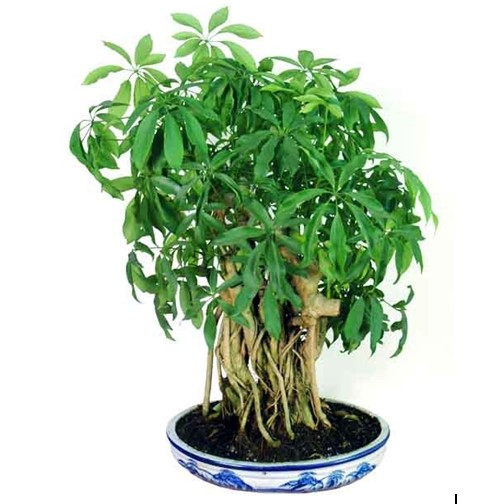 Cây ngũ gia bì là một loại cây nhỏ