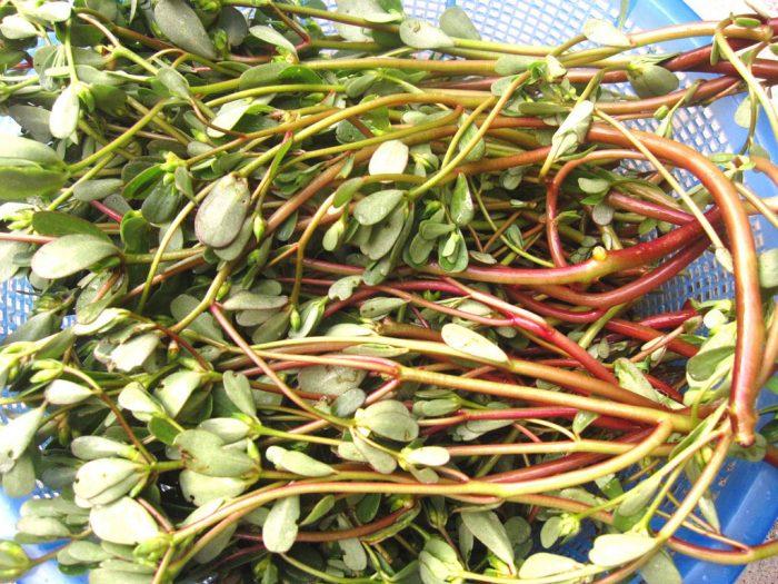 Sử dụng cây rau sam mỗi ngày sẽ giúp chữa được nhiều bệnh khác nhau