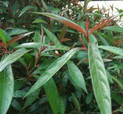 Cây đỏ ngọn được mọc chủ yếu ở vùng núi Tây Bắc