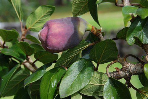 Khi chín, quả sộp chuyển sang màu đỏ tím.