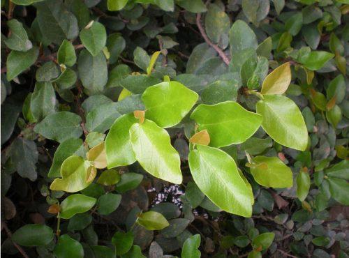 Ngoài công dụng chữa di tinh, liệt dương, cây sộp còn chữa được chứng bệnh về xương khớp.