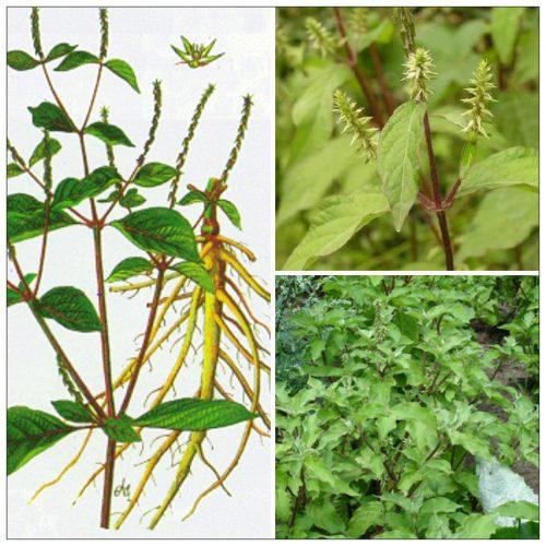 Mùa thu hoạch để phơi khô và bảo quản làm thuốc vào khoảng giữa năm.