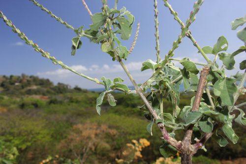 Trong điều kiện sinh trưởng tốt, hoa ngưu tất có thể mọc dài 30cm