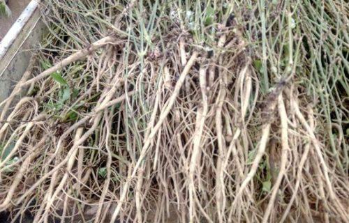 Rễ ngưu tất sau khi thu hoạch, chuẩn bị mang về làm sạch và phơi khô.