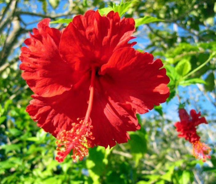 Hoa cây dâm bụt