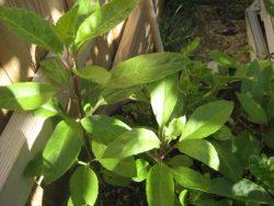 Cây thường được trồng tại những khu vườn hay nơi thoáng mát