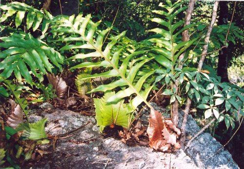 Cây cốt toái bổ có hình dạng rất giống cây dương sỉ