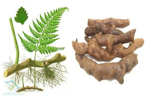 Tác dụng của cây cốt toái bổ là gì và cách dùng cây cốt toái bổ