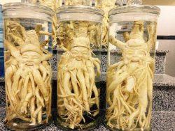 Rễ đinh lăng được ví như nhân sâm với nhiều công dụng bồi bổ sức khỏe