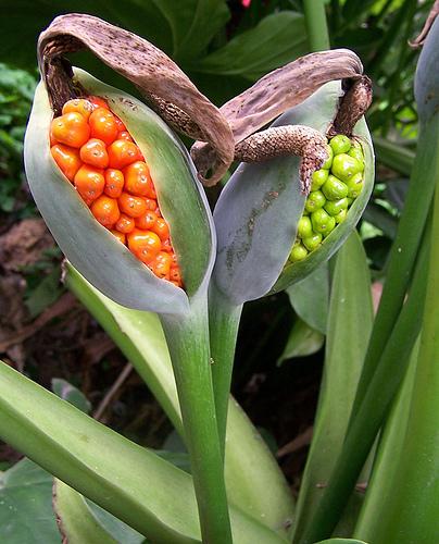 Hoa cây ráy có màu sắc bắt mắt
