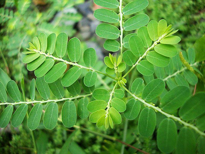 Đặc điểm của cây diệp hạ châu