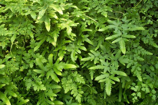 Hình ảnh cây bòng bong
