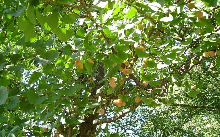 Hình ảnh cây chay chữa bệnh