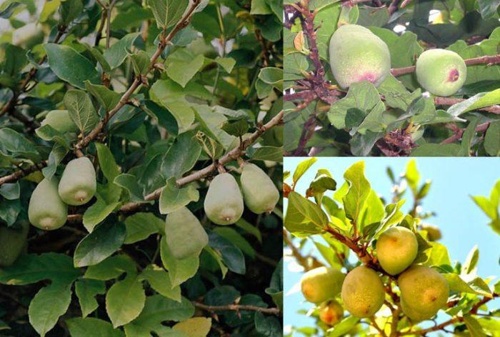 Hình ảnh cây xộp trong tự nhiên và tác dụng cách dùng của cây xộp