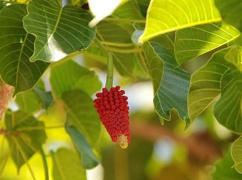 Hình ảnh hoa ba đậu đực