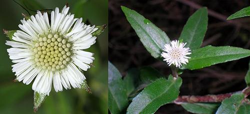Hình ảnh hoa của cây cỏ mực