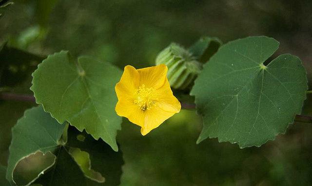 Hoa cây cối xay màu vàng mọc xen giữa 2 lá
