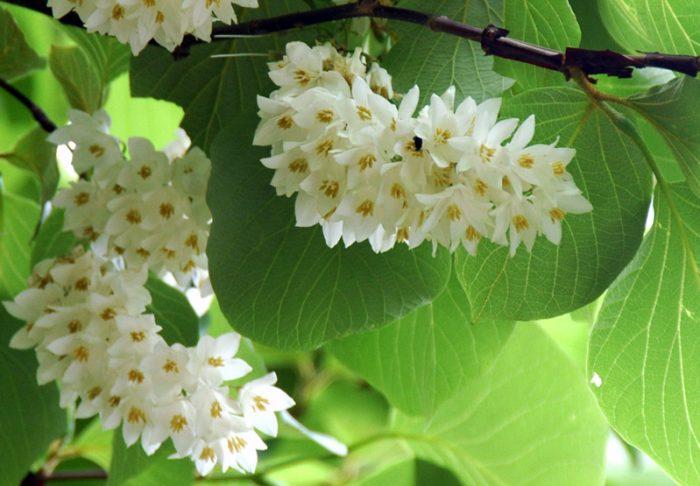 Hoa của cây túc hương