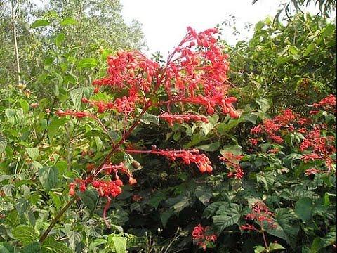 Hoa của cây xích đồng nam