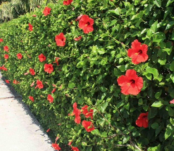 Dâm bụt thường trồng thành hàng rào