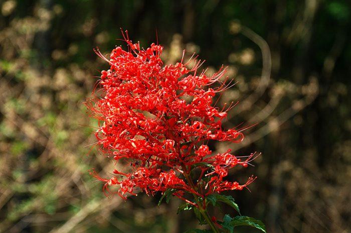 Hình ảnh hoa của cây mò đỏ