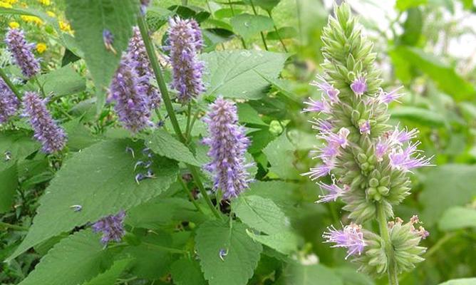 Hoắc hương là gì cùng hình ảnh và tác dụng chữa bệnh của hoắc hương