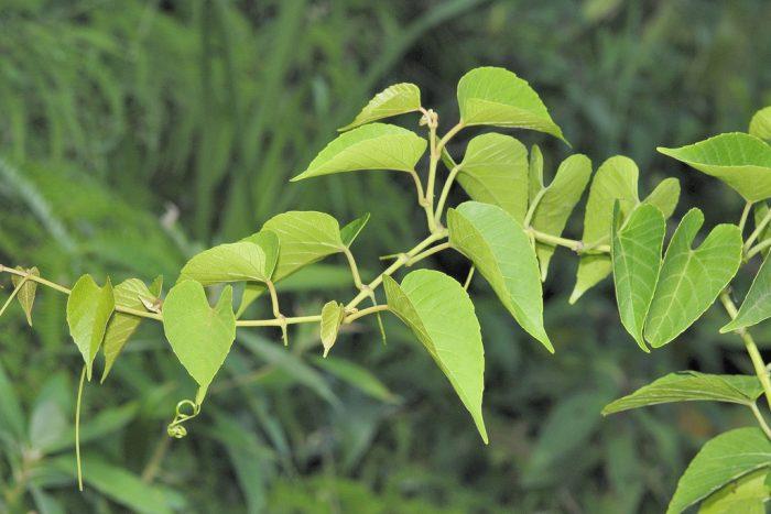 Lá cây chìa vôi là dạng lá đơn xẻ thùy chân vịt