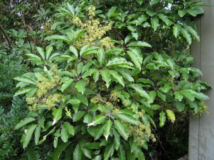 Lá cây ngũ gia bì thường mọc so le