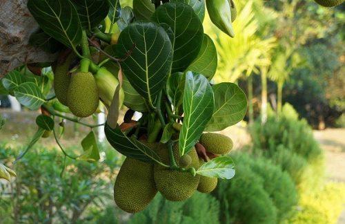 Tất cả các bộ phận của cây mít đều có thể dùng chữa bệnh