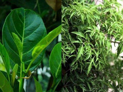 Kết hợp lá cây mít với nhiều loại dược liệu khác