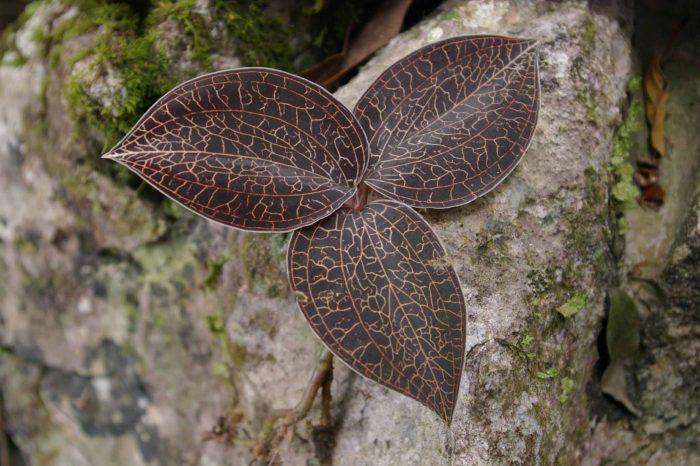Hình ảnh cây lan gấm