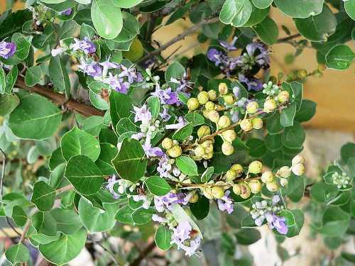 Hoa cây mạn kinh tử